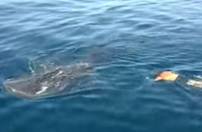 Φλόριντα: Κολύμπησε πάνω σε μια φάλαινα- καρχαρία! (video+photos)