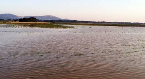 Ροδόπη: Ψάρια βγήκαν στα πλημμυρισμένα χωράφια-πλήγμα στη βαμβακοκαλλιέργεια!