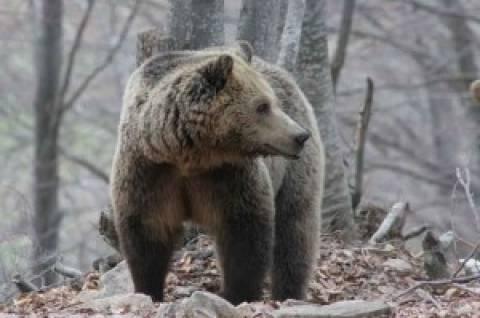 Πτολεμαϊδα: Αρκούδα μπήκε σε κτήμα και τα έκανε… λίμπα