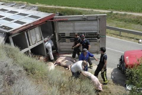 Νεκροί ποδηλάτες μετά από σύγκρουση με φορτηγό που μετέφερε γουρούνια! (pics)