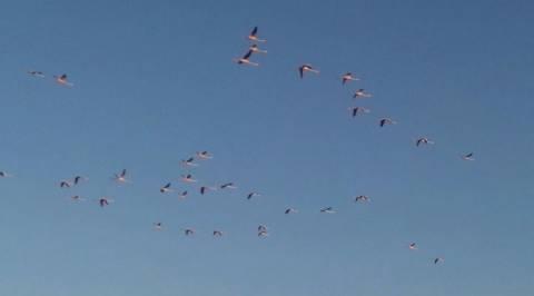 Θεσσαλονίκη: Επιδρομή από… φλαμίνγκο!