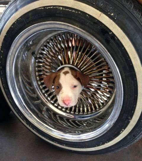Σκύλος σφηνώνει σε... (pics)