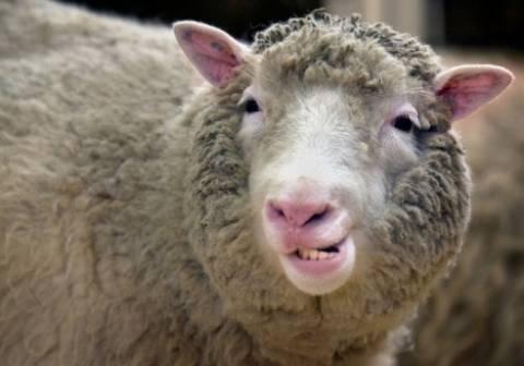 Αλιβέρι: Και τα πρόβατα πήγαν για μπάνιο! (pics)