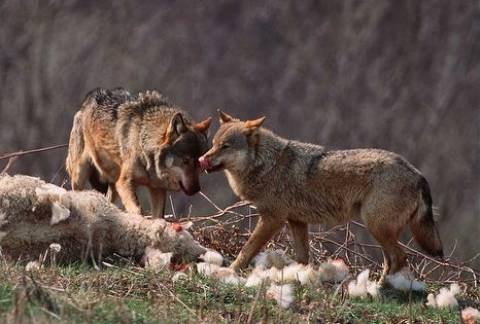 Κοζάνη: Αγέλη λύκων αποδεκάτισε κοπάδι με πρόβατα