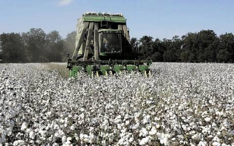 Κιλκίς: Σκάνδαλο με βαμβακοπαραγωγούς που λάμβαναν παράνομα επιδοτήσεις