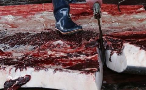 Σκληρές εικόνες: Κατακρεούργησαν φάλαινες σε μαθητική εκδρομή και...