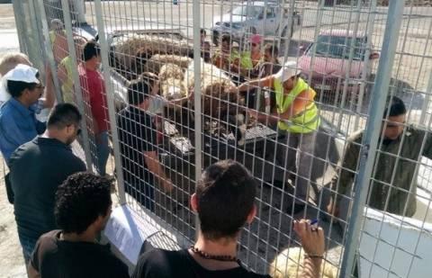 Η κιβωτός του Νώε στο… Ηράκλειο - 2.500 αρνιά από την Κρήτη στη Λιβύη! (pics)