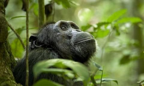 Οι χειρονομίες των χιμπατζήδων «μεταφράζονται» για πρώτη φορά