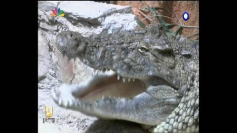 Εμφανίστηκε κροκόδειλος και στα Σπάτα! (vid)