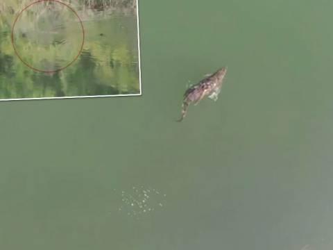 Απίστευτο: Ο «Σήφης», ο κροκόδειλος κολυμπάει αρμονικά παρέα με πάπιες! (vid)