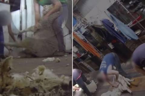 Σοκαριστικό βίντεο: Κτηνώδες κούρεμα προβάτων σε ΗΠΑ και Αυστραλία