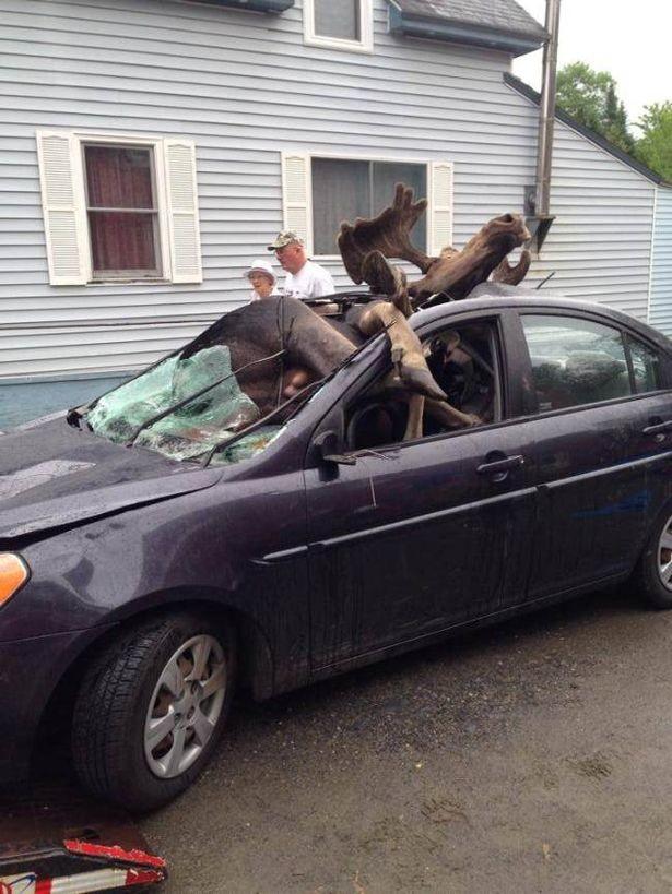 Βοστώνη: Αυτοκίνητο τράκαρε με άλκη! (σκληρές εικόνες)