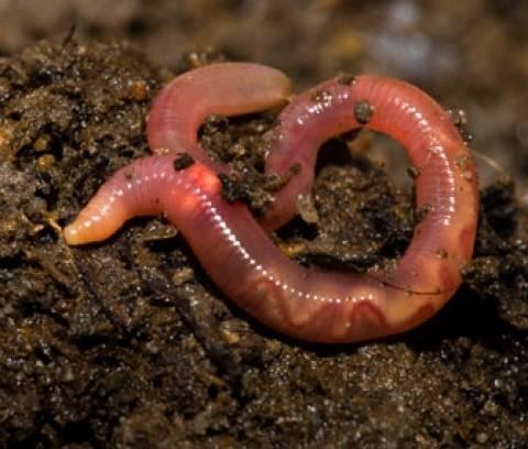 Γνωρίζατε ότι ένα απλό σκουλήκι μπορεί να καταστρέψει ένα οικοσύστημα;