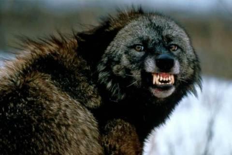 Λύκος έφαγε το στόμα Κινέζου! (σκληρές εικόνες)