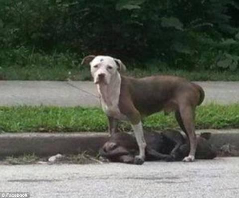 Συγκινητικό: Τραυματισμένος σκύλος πενθεί το νεκρό του ταίρι (pics)