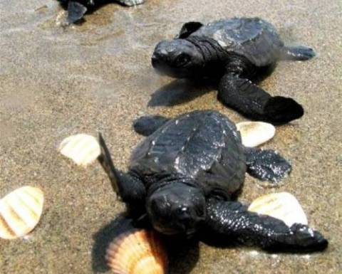 Κρήτη: Τα πρώτα χελωνάκια του 2014 έτρεξαν προς το Λυβικό πέλαγος