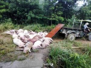 Αστραπή έκαψε 170... γουρούνια! (pic)
