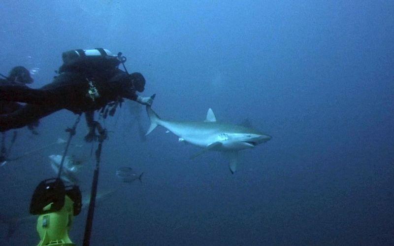 ΗΠΑ: Θαρραλέοι δύτες έβγαλαν αγκίστρι από καρχαρία! (video+photos)