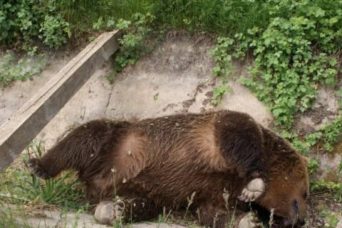 Πρέσπα: Δύο αρκούδες νεκρές από σφαίρες (pics)