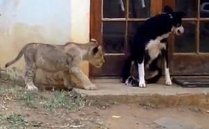 Είδε το λιοντάρι και ακόμα... τρέχει ο σκύλος (video)