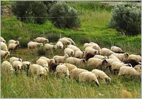 Σέρρες: Δηλητηριάστηκε κοπάδι με πρόβατα - Σε απόγνωση η κτηνοτροφική οικογένεια