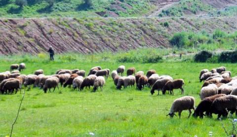 Μέχρι τις 15/9 θα καταβληθεί η ενδιάμεση δόση της εξισωτική σε κτηνοτρόφους