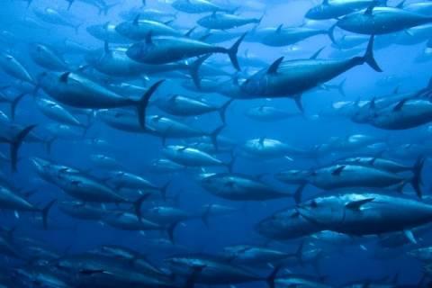 Ηλεία: Ψαράδες αλίευσαν τόνο 70 κιλών! (pic)