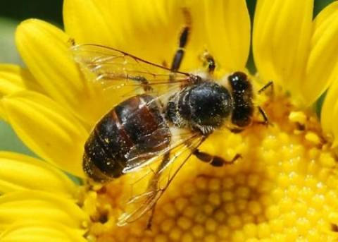 Άνδρας εξημέρωσε μέλισσα και την βγάζει βόλτα! (pics)
