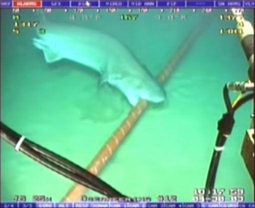 Λευκοί καρχαρίες… σαμποτάρουν το Internet (pics+vid)