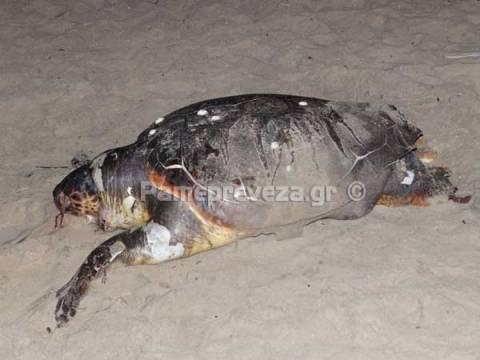 Πρέβεζα: Εντοπίστηκαν νεκρές θαλάσσιες χελώνες