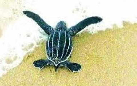 Το παρθενικό ταξίδι της μικρής θαλάσσιας χελώνας (vid&pics)