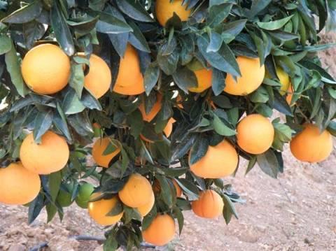 Νότια Αφρική: Τον σκότωσαν χτυπώντας τον με... πορτοκάλια