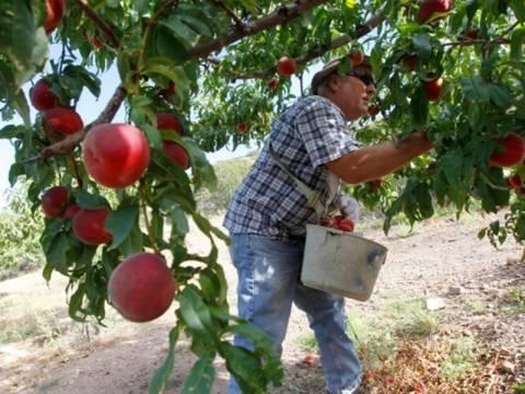 Τι προτείνει η Ελλάδα για τη στήριξη των ροδακινοπαραγωγών