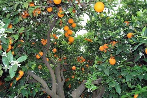 Σε απόγνωση οι αγρότες της Λακωνίας - Τέλος τα πορτοκάλια για την Ρωσία…