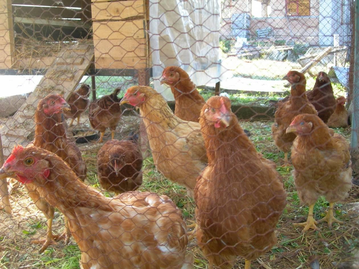 Ηλεία: Φαρμάκωσαν κότες με φυτοφάρμακο – «Πάγωσε» ο ιδιοκτήτης