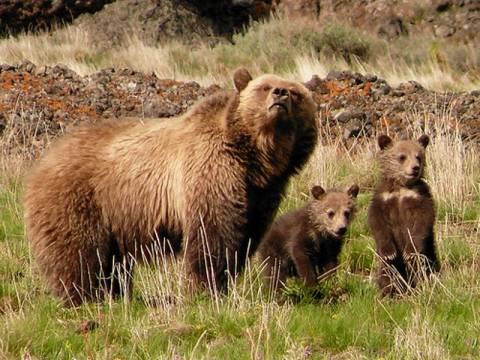 Οι αρκούδες μπορούν να χρησιμοποιούν εργαλεία