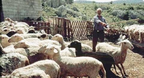 Κανονικά οι αποζημιώσεις σε κτηνοτρόφους με κοπάδια που προσβλήθηκαν από καταρροΐκό πυρετό
