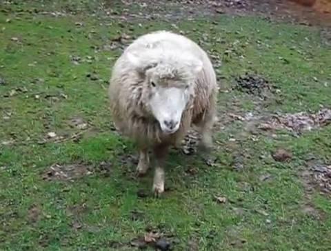 Φάρσαλα: Έσερνε το πρόβατο με το αυτοκίνητό του