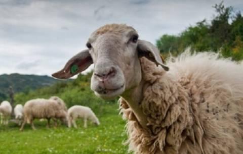 Δηλώσεις του προέδρου Συνδέσμου Ελληνικής Κτηνοτροφίας για τον καταρροϊκό πυρετό