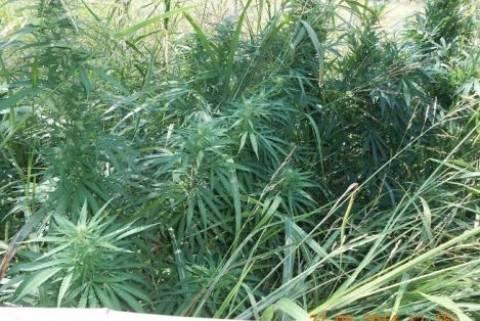 Ιωάννινα: Εντοπίστηκε φυτεία κάνναβης σε δασώδη περιοχή