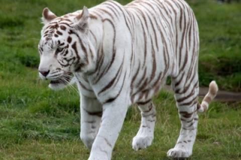 Σοκ: Λευκή τίγρης κατασπάραξε 12 χρόνο αγόρι