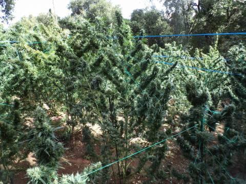 Κρήτη: Εντοπίστηκαν φυτείες με 530 δενδρύλλια κάνναβης στον Μυλοπόταμο (pics)
