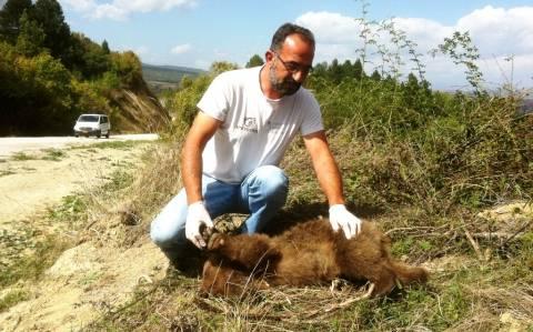 Νεκρό αρκουδάκι από τροχαίο στην Καστοριά