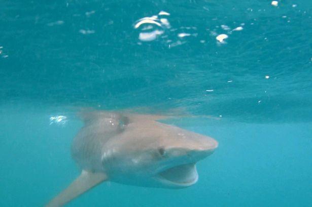 Κόστα Ρίκα: Η επική μάχη φάλαινας-δολοφόνου με καρχαρία-τίγρη! (vid+pics)