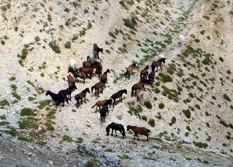 Σούλι: Αυξήθηκαν τα άγρια άλογα