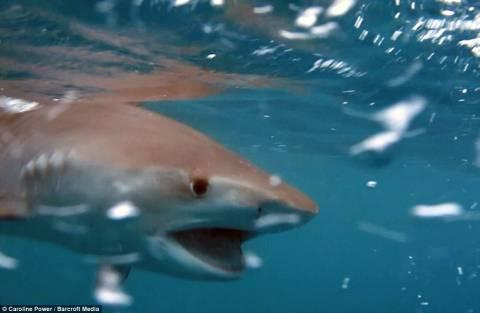 Η τρομακτική στιγμή που φάλαινα δολοφόνος τρώει καρχαρία! (pics+video)