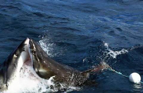 Αυστραλία: Σπάνια επική μάχη ανάμεσα σε δύο λευκούς καρχαρίες (vid+pics)
