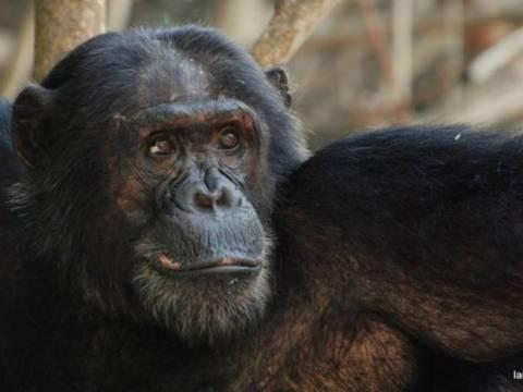 Οι στενότεροι «συγγενείς» μας, οι χιμπατζήδες, μεταδίδουν ιδέες ο ένας στον άλλο