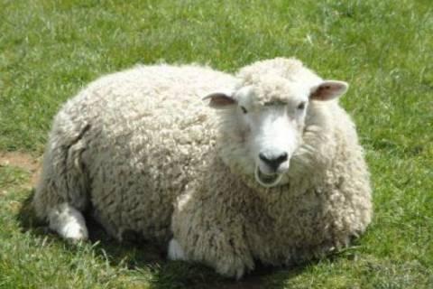 Από τον Οκτώμβρη ξεκινούν οι αποζημιώσεις στους κτηνοτρόφους