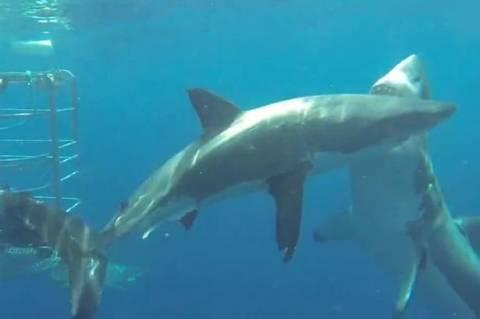 Νέο κρούσμα… κανιβαλισμού ανάμεσα σε λευκούς καρχαρίες (vid)